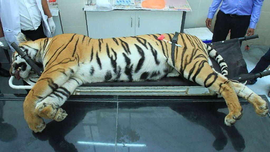Tigress Anvi Slayed by Indian Blue Blood Hunter