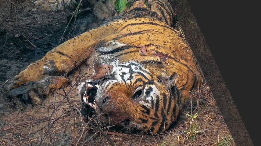 Tigress Beaten to Death Barbarically in UP