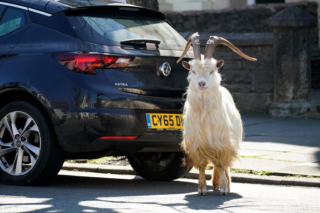 Lockdown Llandudno Goat Invasion